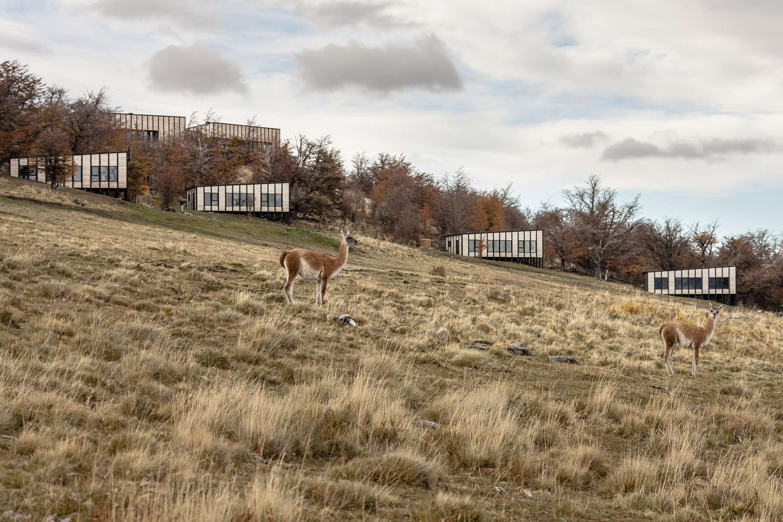 brown and white alpaca stands in a large area of grass with wooden lodges in the background at Awasi Patagonia