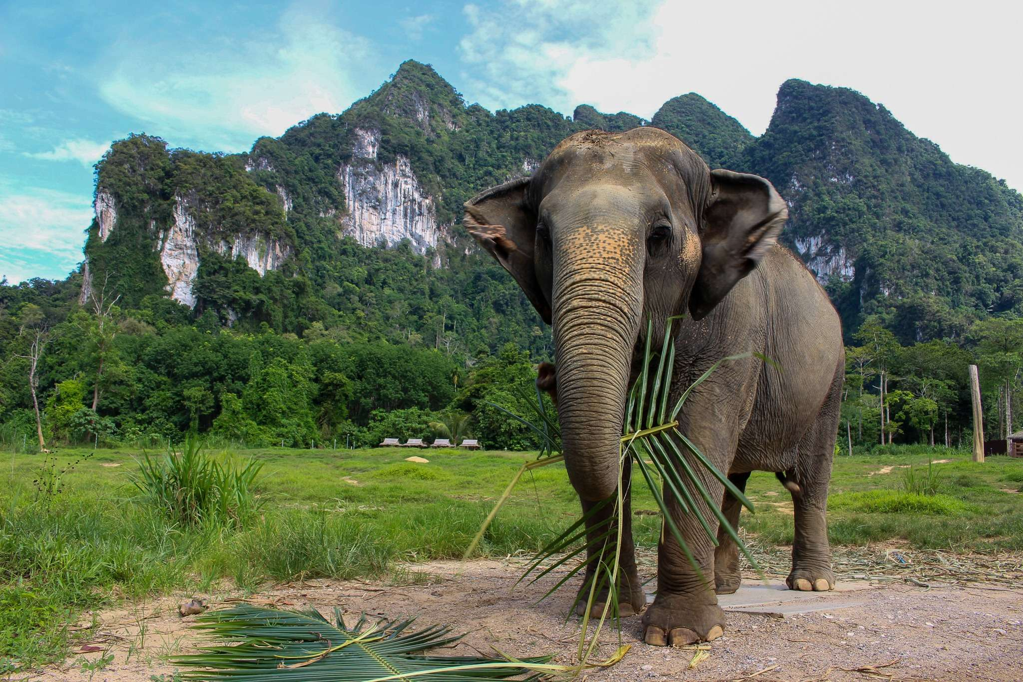 Asian elephant eating a large leaf with mountains behind, at Elephant Hills Thailand