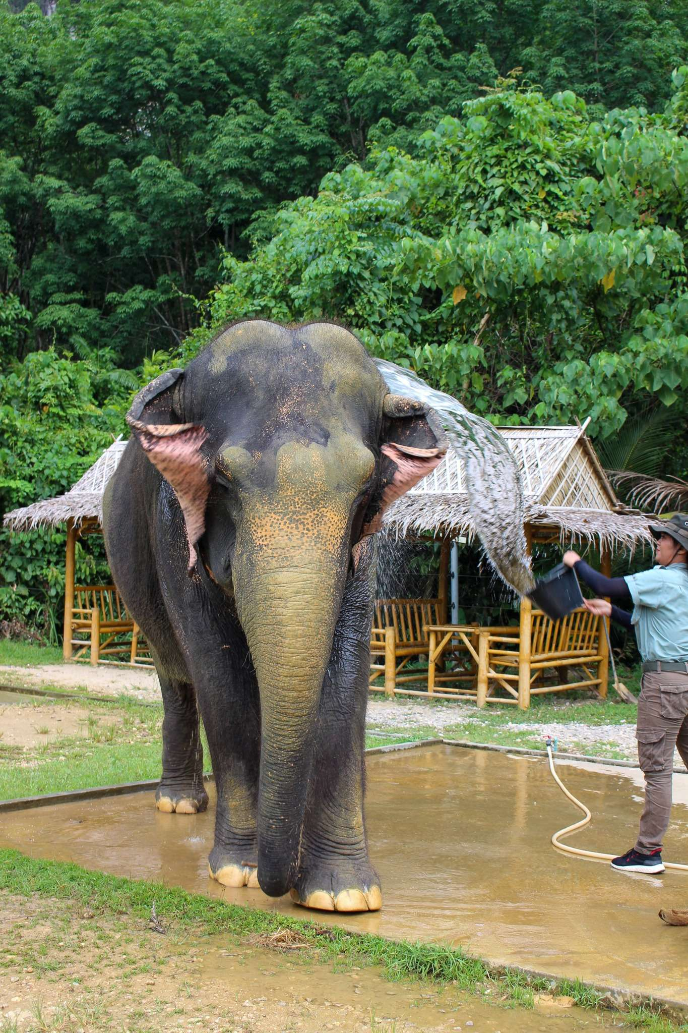 Guide at Elephant Hills Thailand throws a bucket of water over an elephant