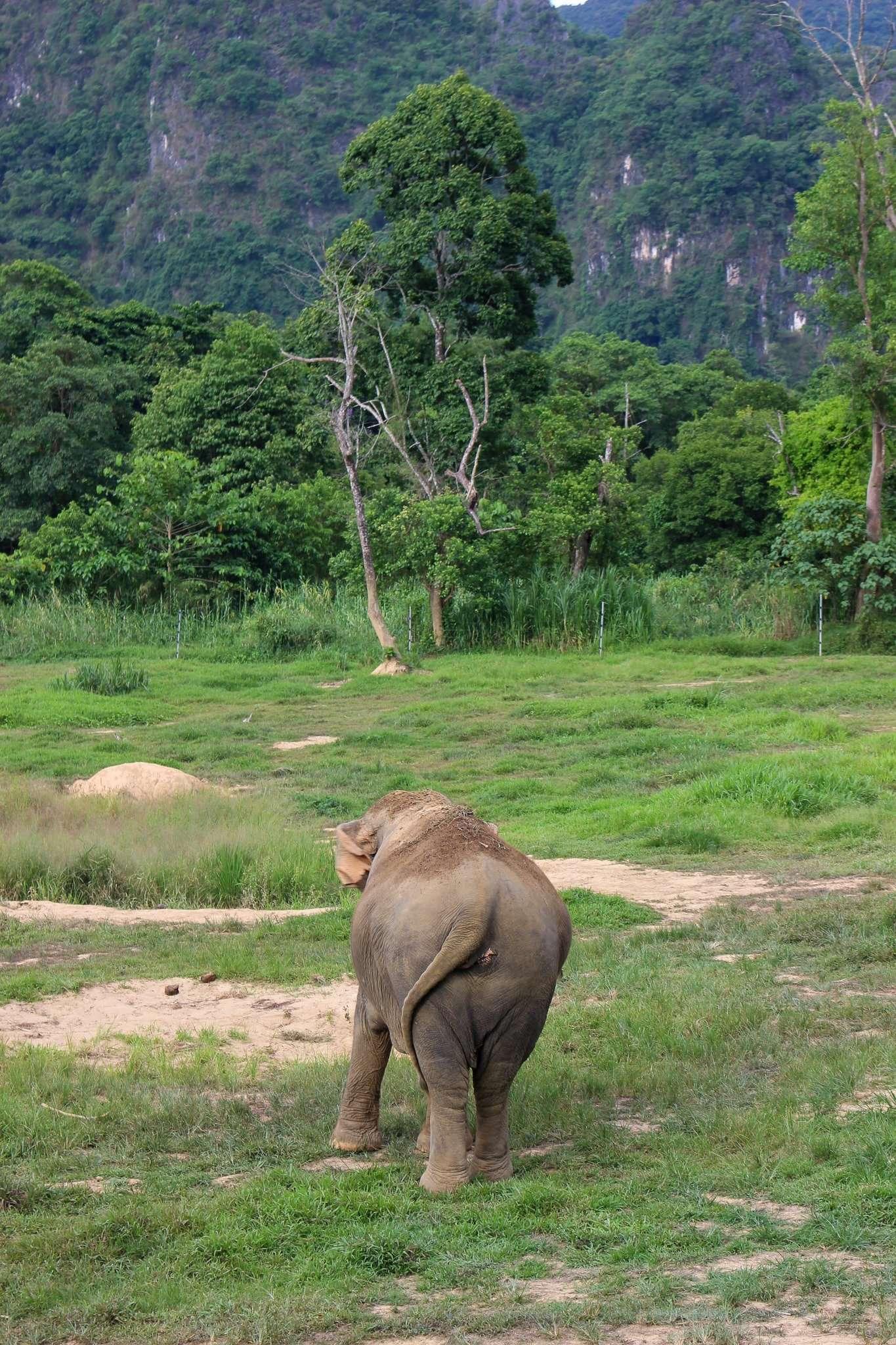 Asian elephant walks into the rainforest at Elephant Hills Thaialnd