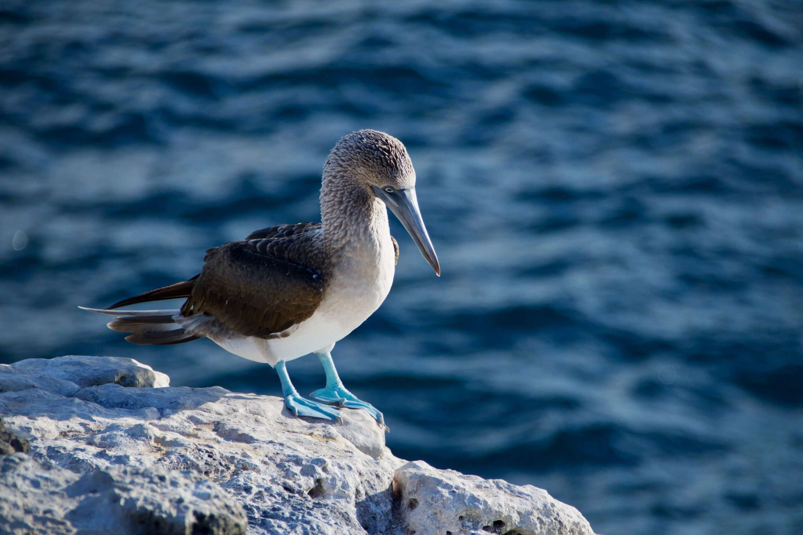 blue footed booby stands on a rock beside the sea in Galápagos islands