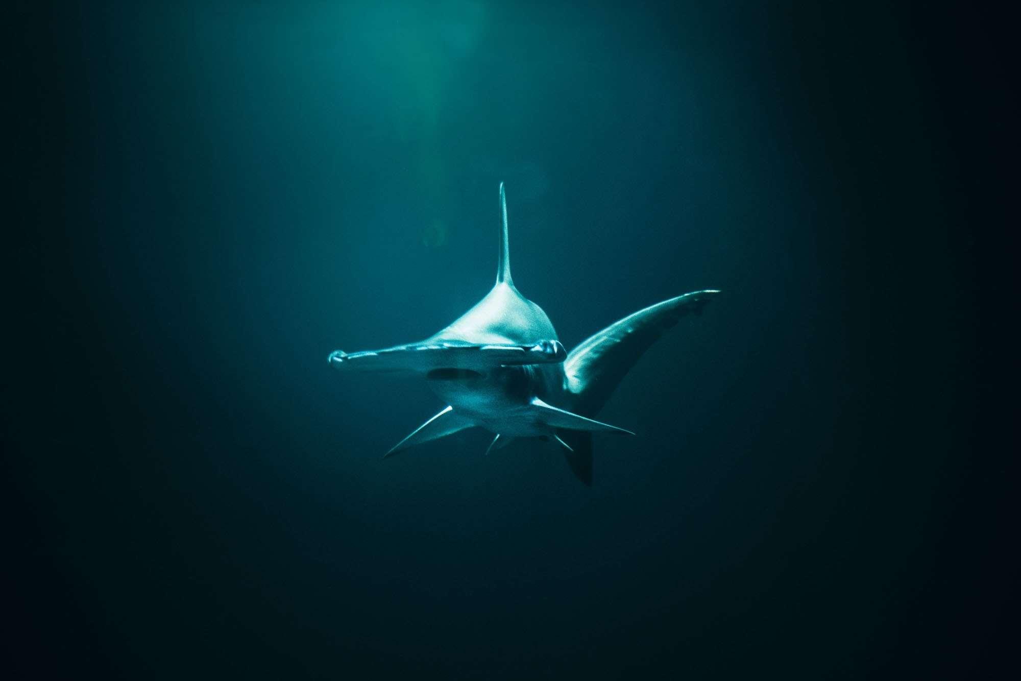 hammerhead shark in the deep water around Galápagos islands
