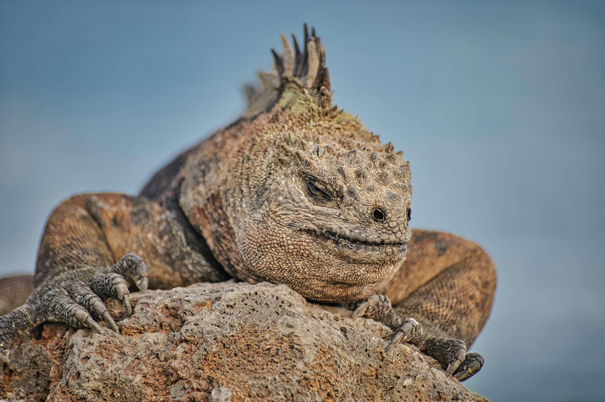 close up of a land iguana in Galápagos island