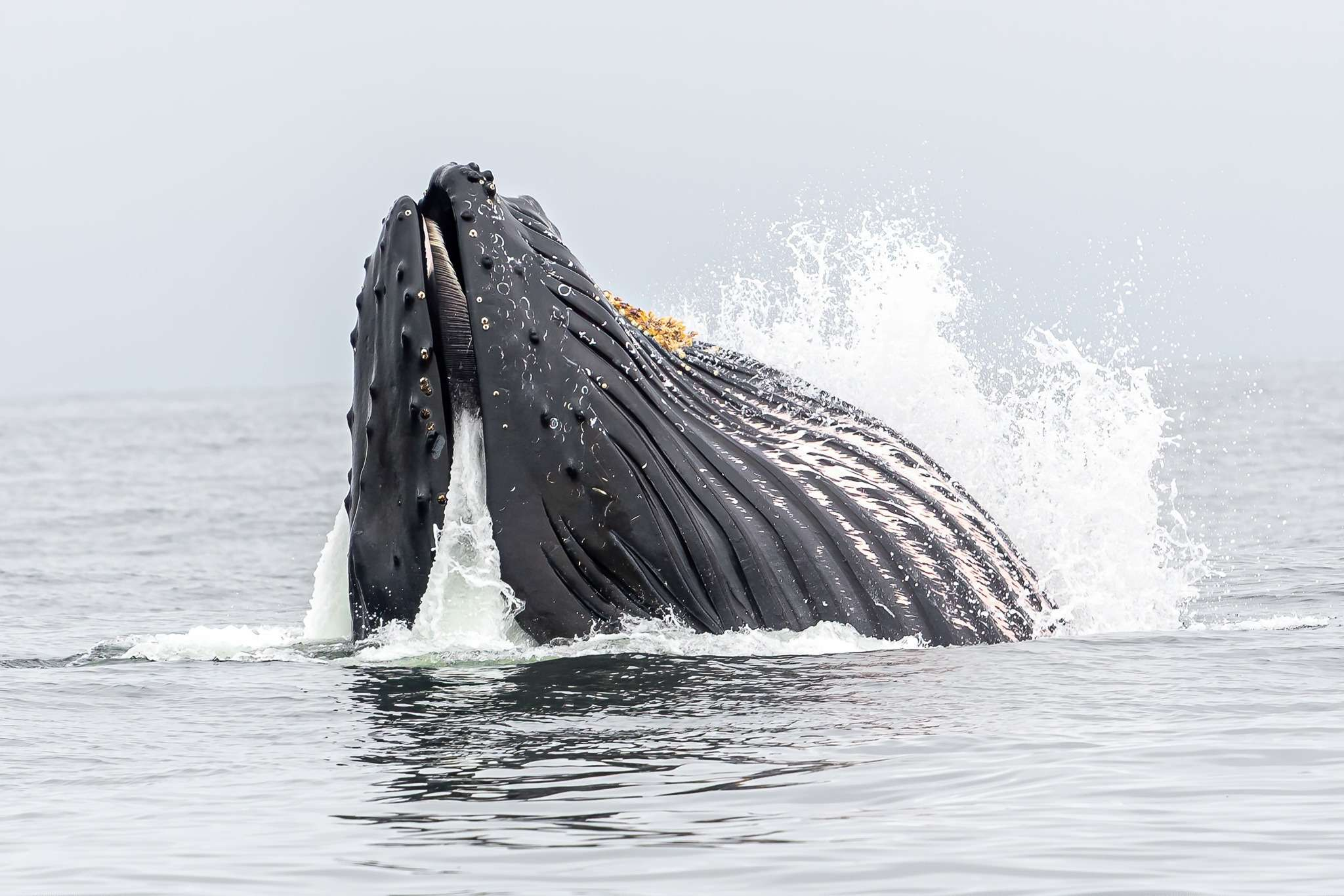 humpback whale's nose poking out of the water, seen during Galápagos island travel
