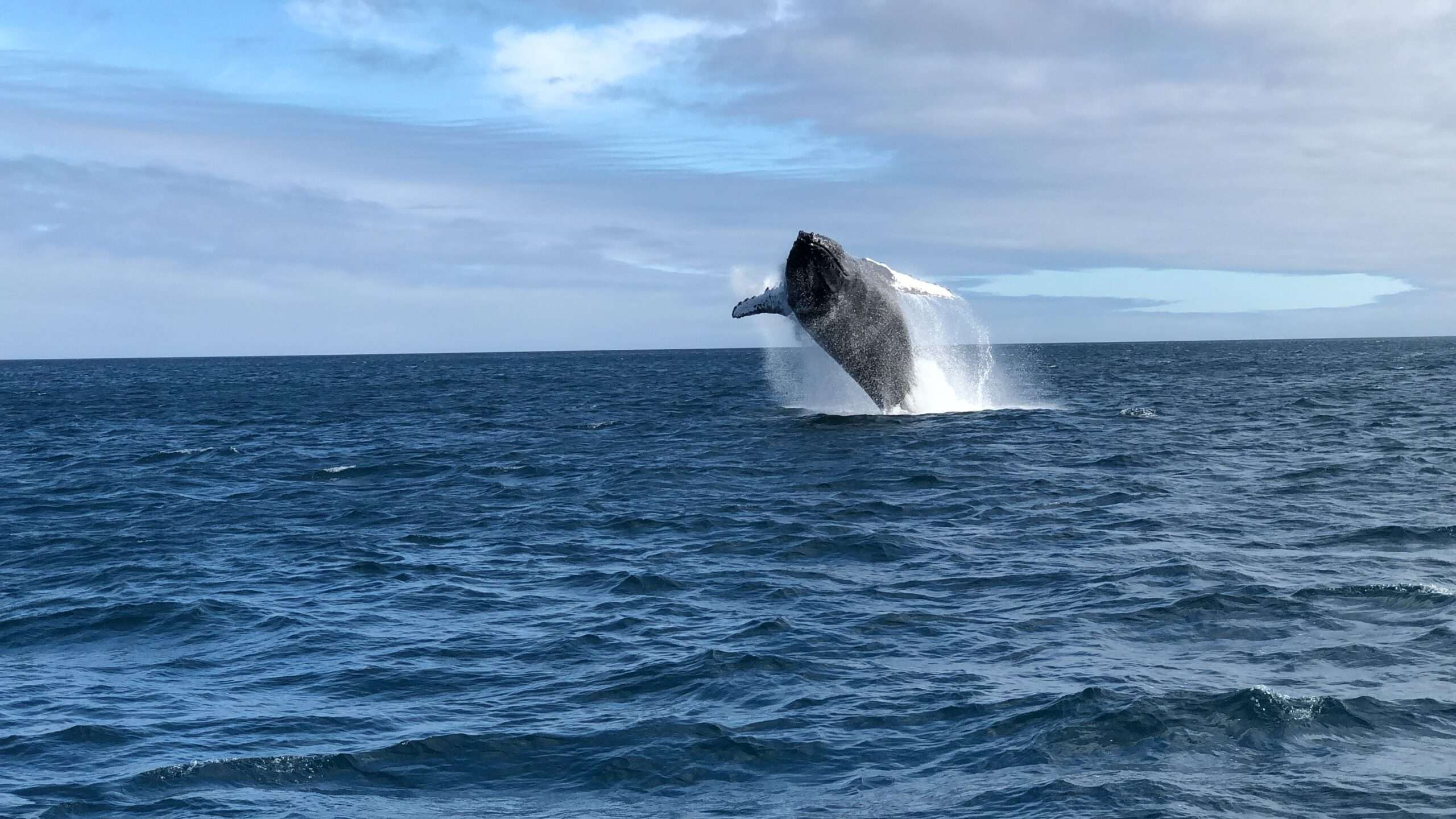 whale jumps out of the water, seen during a Galápagos island travel tour