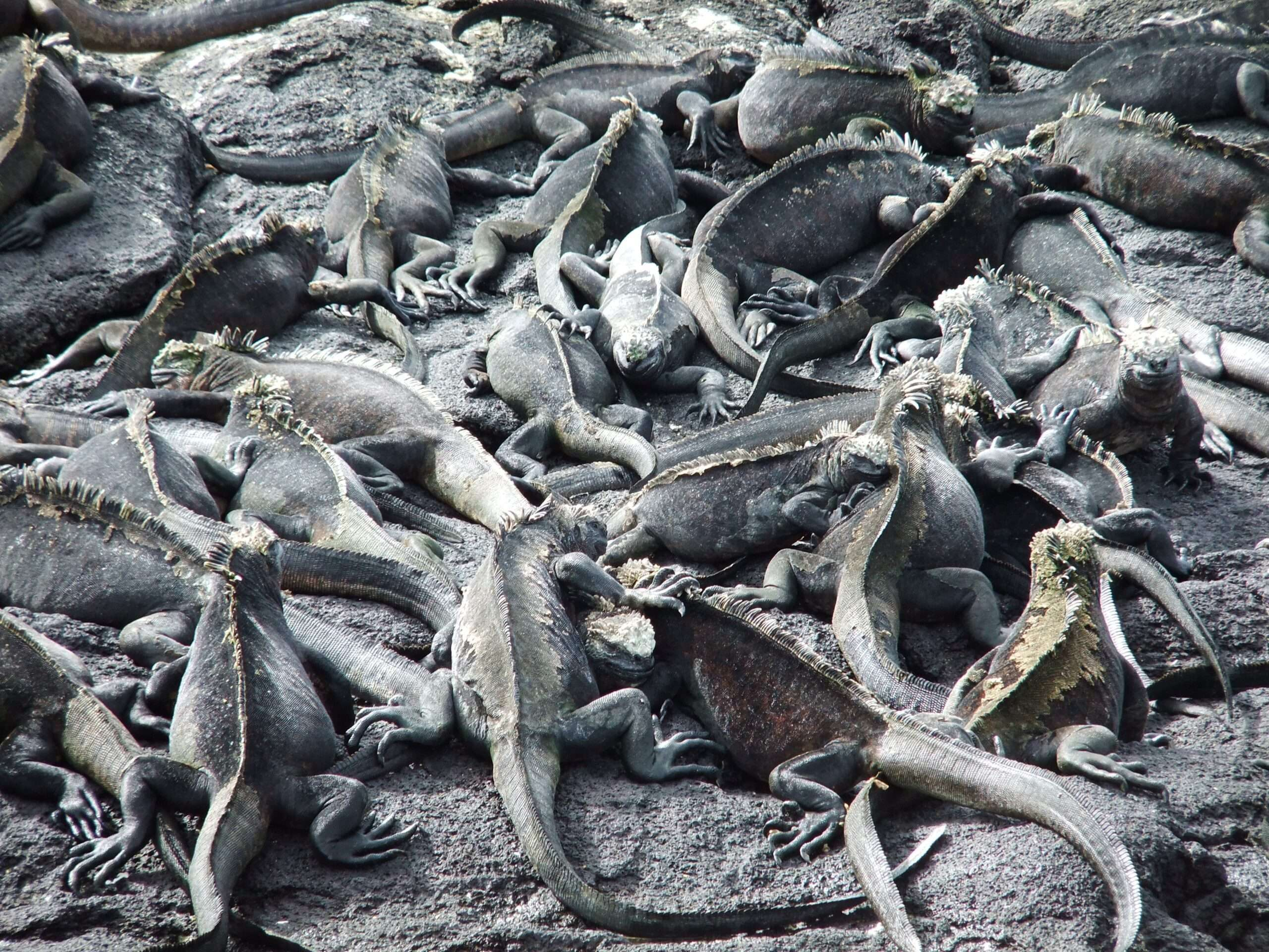 mass of iguana stood all over one another in the Galápagos islands