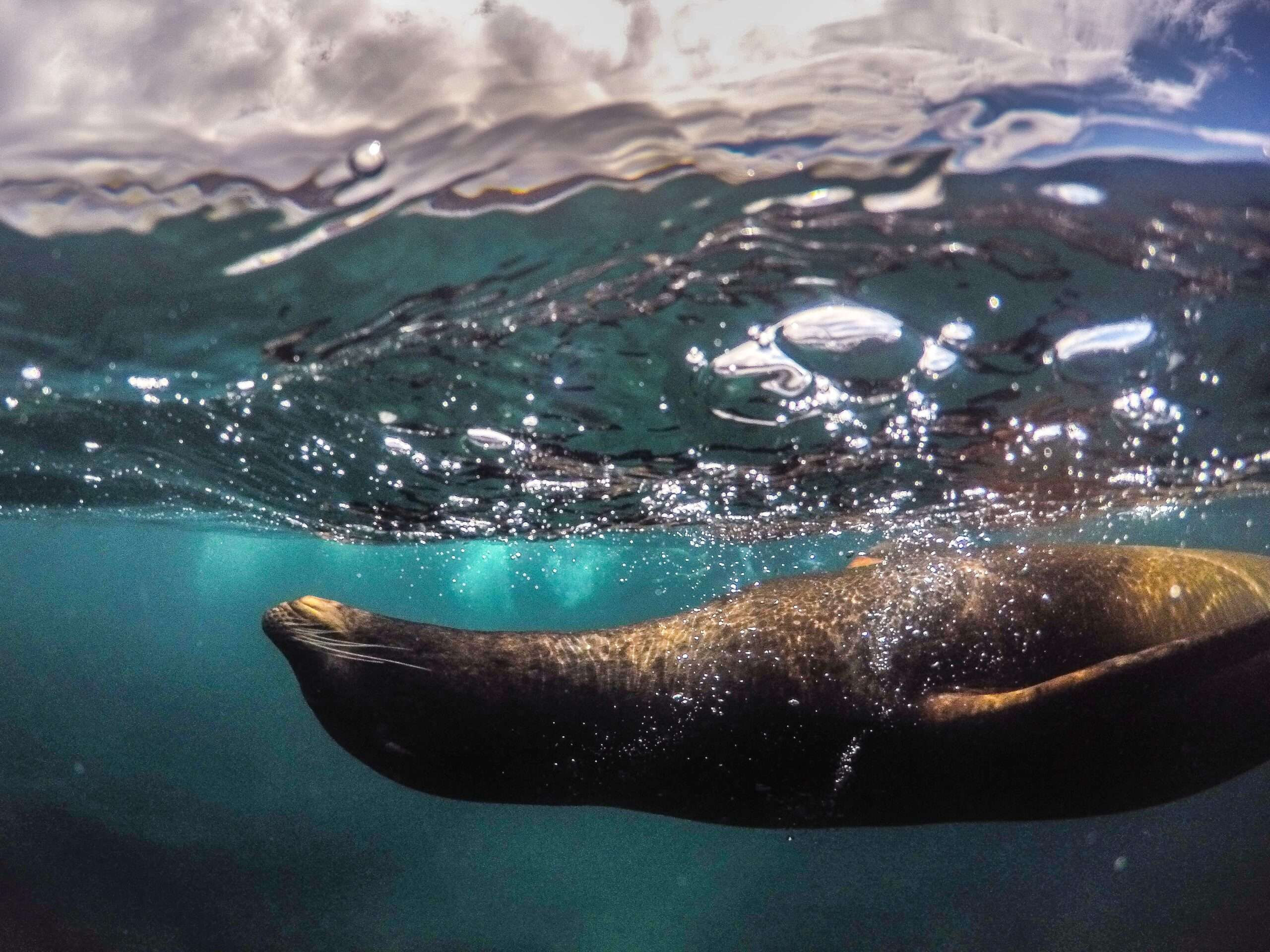 a sea lion swims just below the surface in Galápagos islands