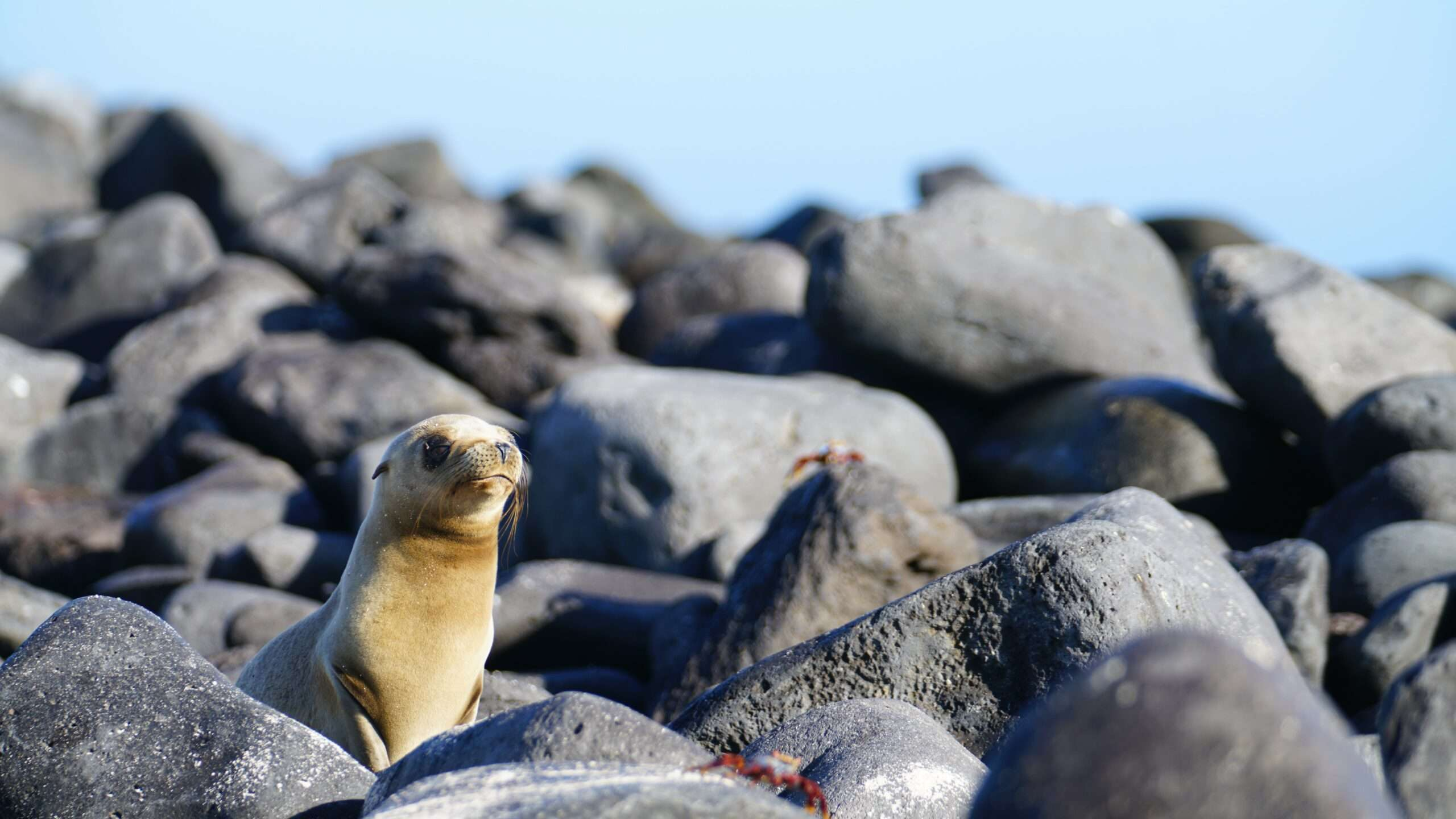 seal pup on the rocks in the Galápagos islands
