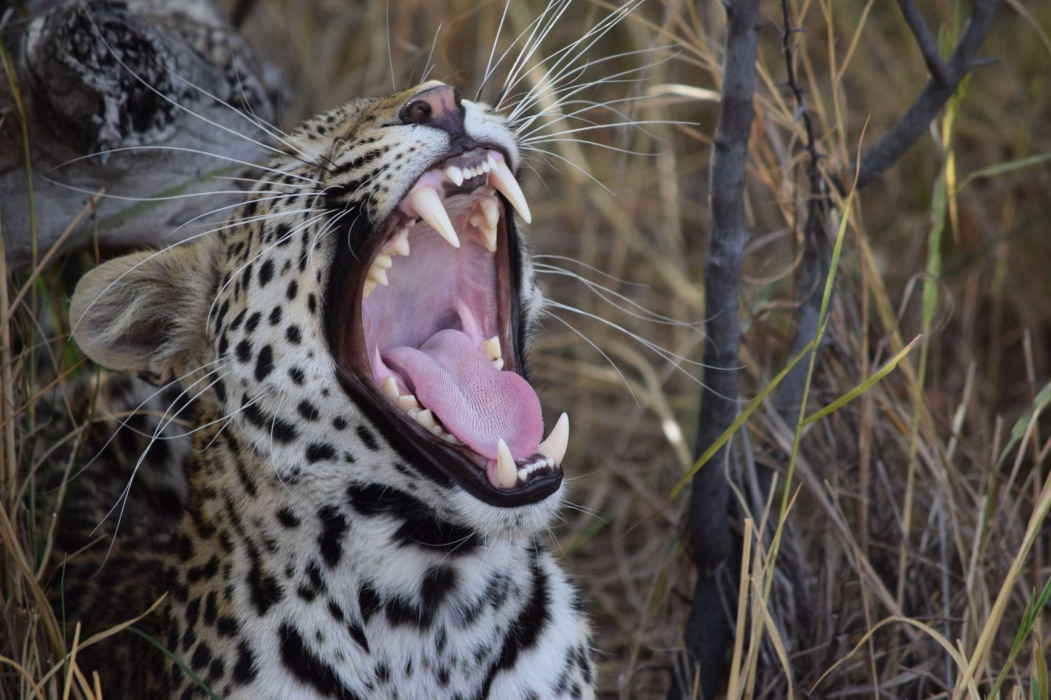 Leopard yawns, showing its teeth and inside of its mouth, seen on a safari in the okavango delta