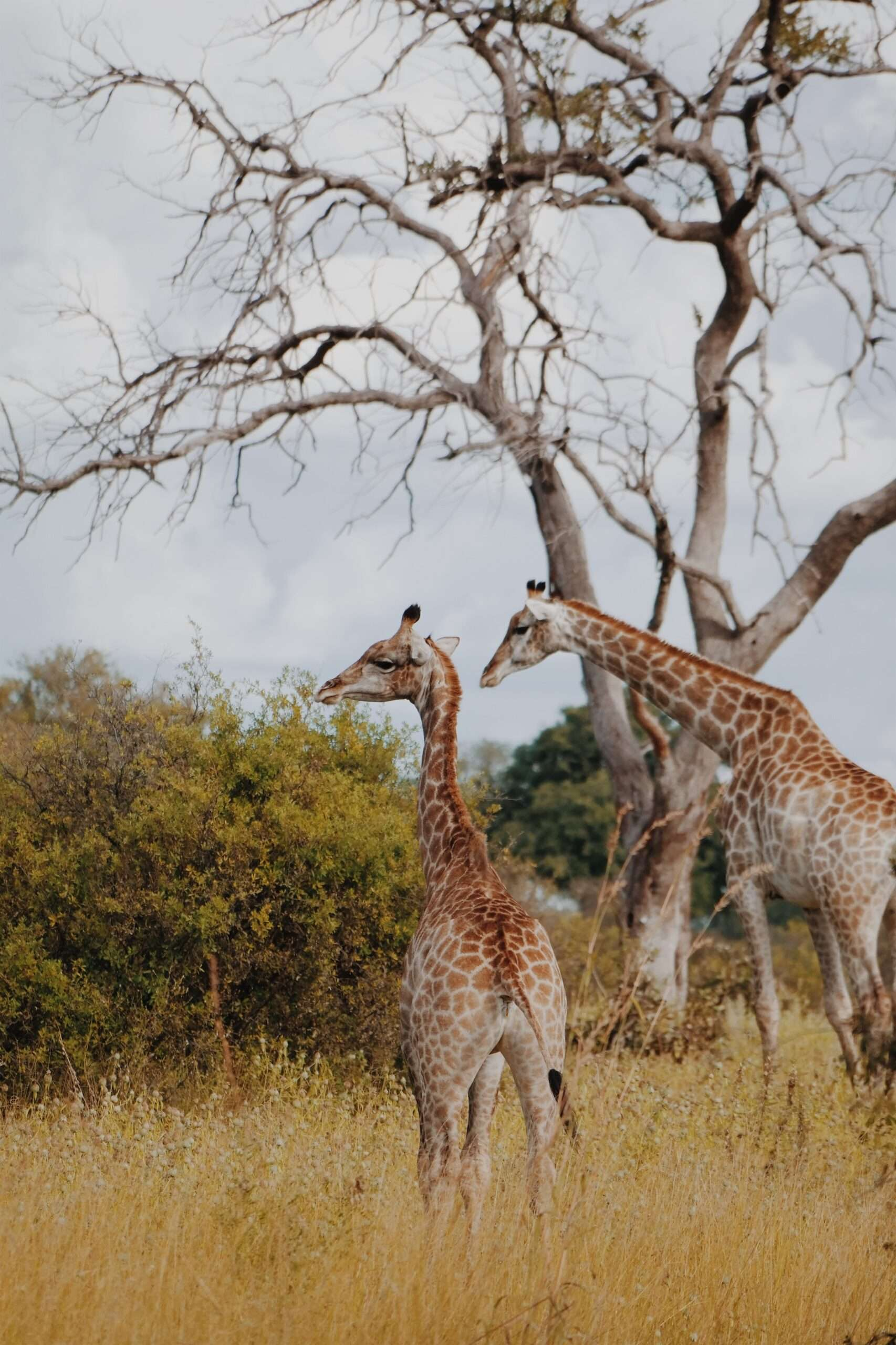 two giraffes, seen during safari in the okavango delta
