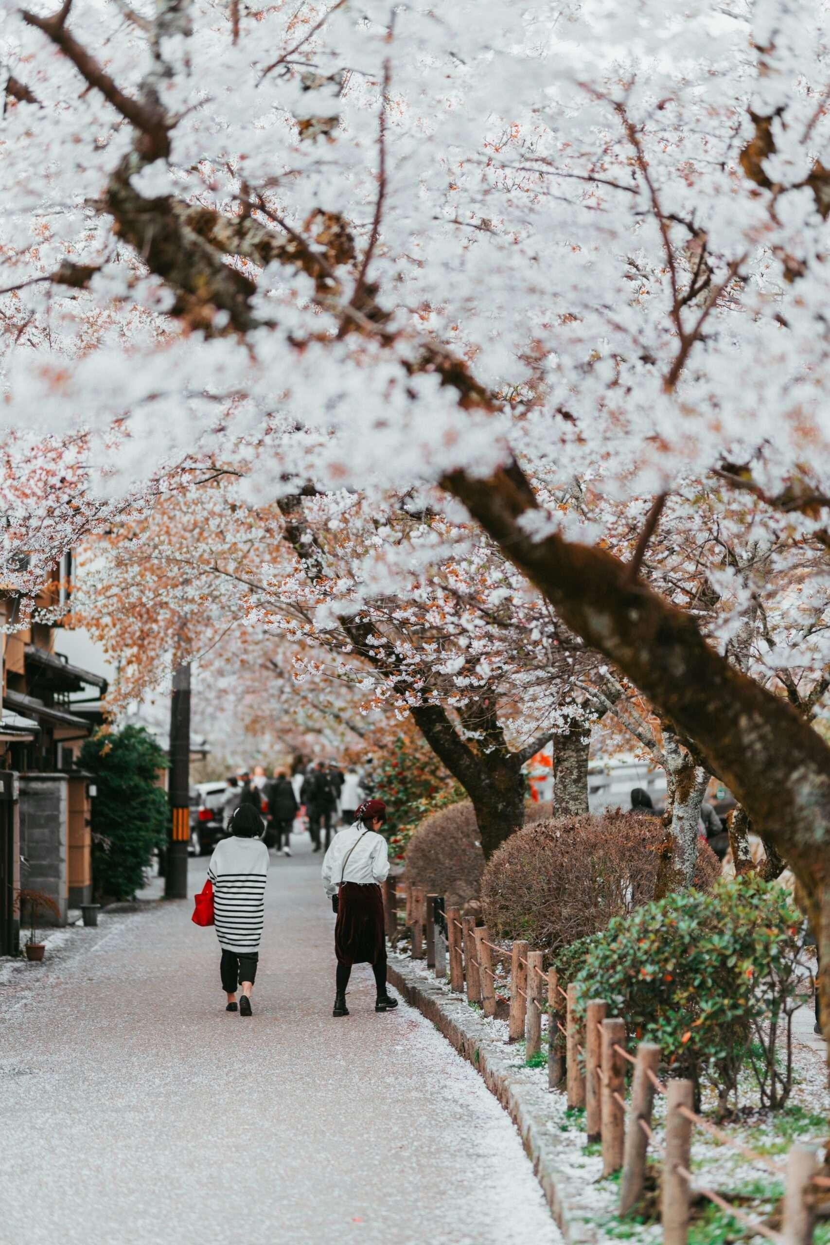 People walk along cherry blossom lined sidewalk in Kyoto