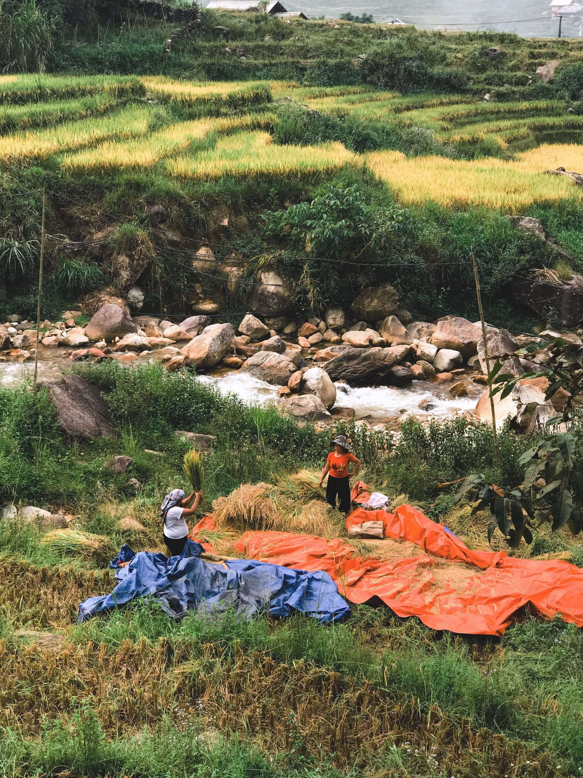 two men dry rice in the sun, a common sight when trekking in Sapa