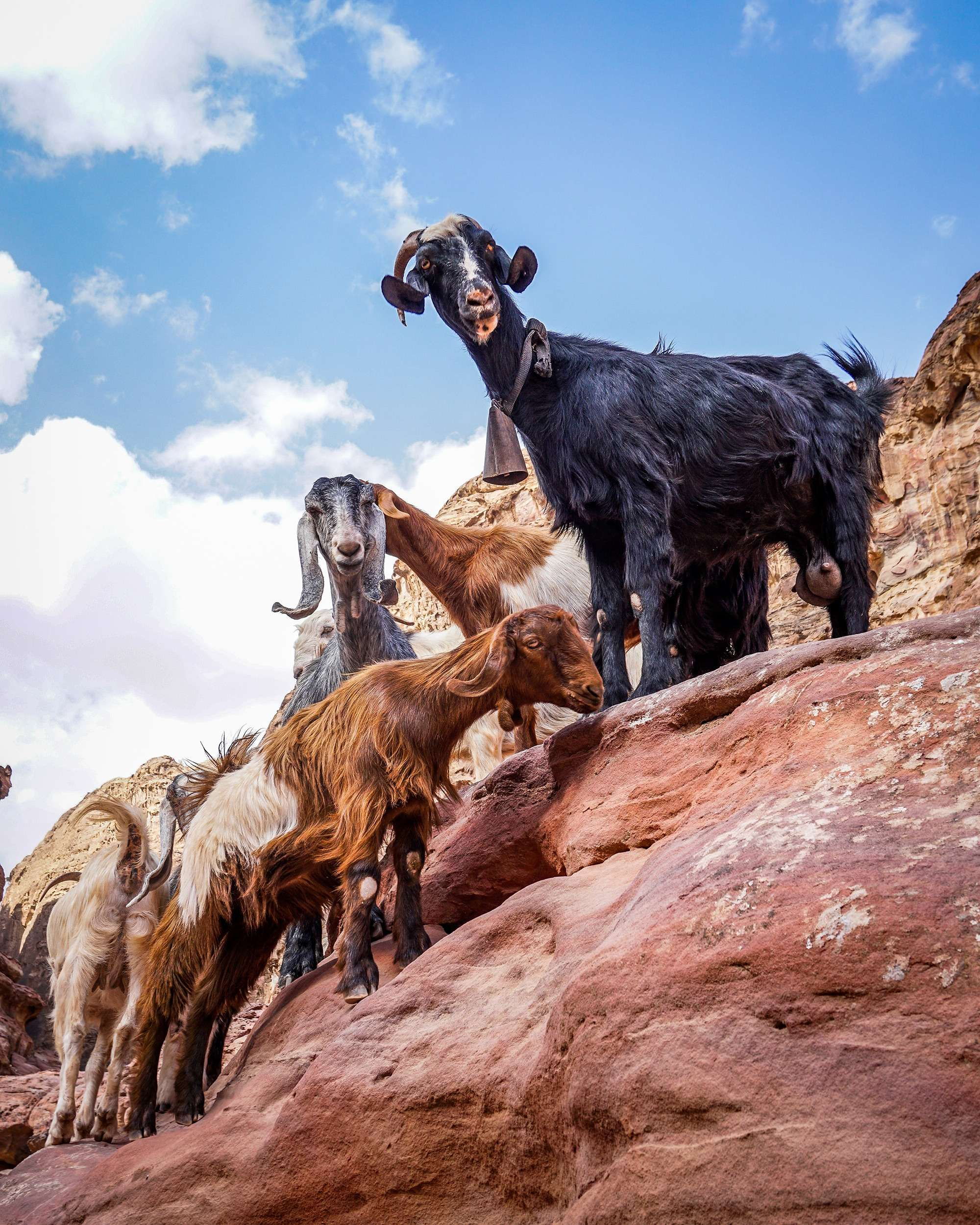 mountain goats gather on the side of the rocks at Petra